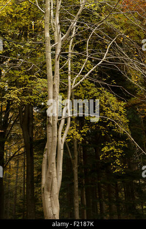 Leafless beech tree against birch grove, near Selkirk,Borders,Scotland,UK, - Stock Photo