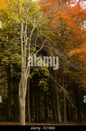 Leafless beech tree against a birch grove, near Selkirk,Borders,Scotland,UK, - Stock Photo