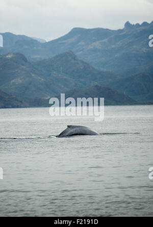 Loreto, Baja, Mexico. Distant image of a whale swimming in the water. - Stock Photo