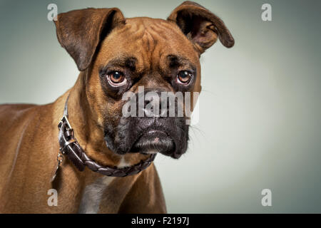Boxer dog with serious expression in studio. - Stock Photo