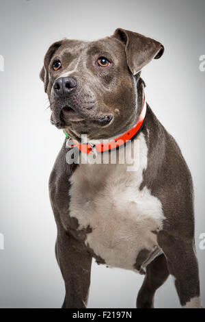 Gray bull terrier dog in studio looking away. - Stock Photo