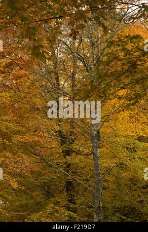 Autumn color trees,twin birches, near Selkirk,Borders,Scotland,UK, - Stock Photo