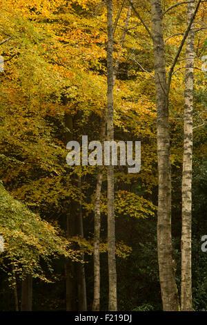 Autumn color trees near Selkirk,Borders,Scotland,UK, - Stock Photo