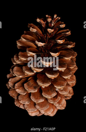 single pine cone on black background - Stock Photo