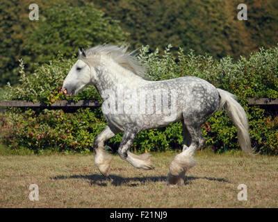 Shire Draft Horse stallion galloping in corral - Stock Photo
