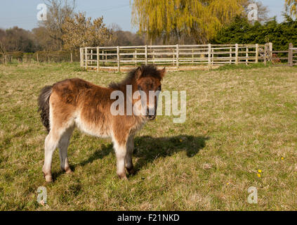 A bay coloured Shetland foal standing in a field with a Round Schooling Pen in the back ground - Stock Photo