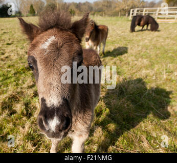 An inquisitive Shetland foal - Stock Photo