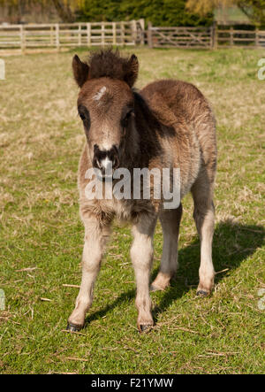 A young Shetland Pony foal - Stock Photo