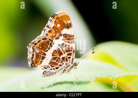 Macro of a map butterfly (Araschnia levana) sitting on a leaf - Stock Photo