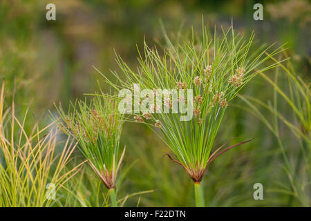 Papyrus sedge, paper reed, Indian matting plant, Nile grass, Echter Papyrus, Papyrusstaude, Zyperngras, Papier, - Stock Photo