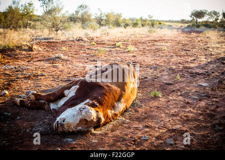 A cow succumbs to the Australian Outback heat near Gemtree in the Northern Territory, Australia - Stock Photo
