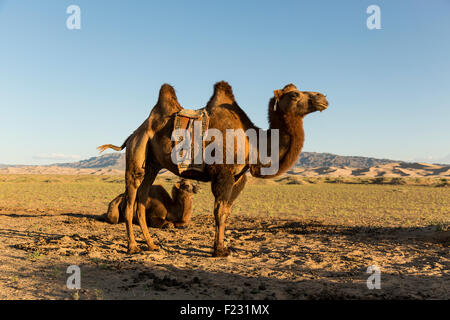 Mongolian Camels Seating and Standing in the Gobi Desert - Stock Photo