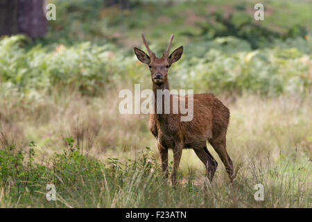 A young Red Deer stag looking straight forward. - Stock Photo