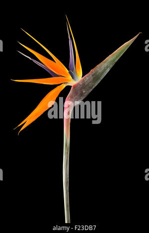 Strelitzia reginae (Bird of Paradise) on black background - Stock Photo