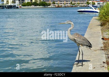 Grey heron Latin name Ardea cinerea - Stock Photo