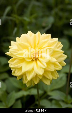 Yellow Dahlia flower in the garden. - Stock Photo
