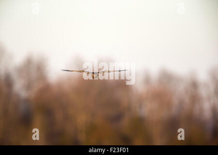 Northern Harrier flying straight on / towards a camera - Stock Photo