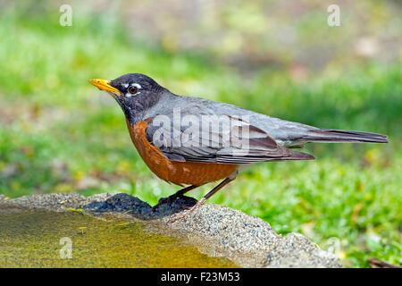 American Robin standing in a Birdbath - Stock Photo