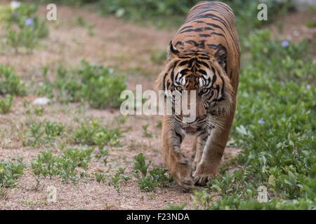 Sumatran Tiger Patrolling - Stock Photo