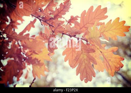 Fall season oak autumn tree foliage branch in warm sun light background with vintage filter. - Stock Photo