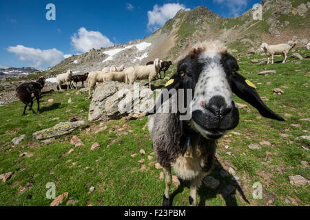 A sheep gets up close and personal high up in the Alps. - Stock Photo