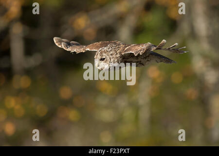Tawny Owl / Waldkauz ( Strix aluco ) on its silent flight in front of autumnal coloured birch bushes. - Stock Photo
