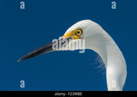 Snowy Egret (Egretta thula), portrait, Everglades National Park, Anhinga Trail, Florida, USA - Stock Photo