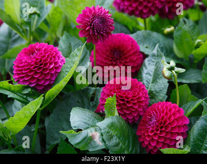 Dahlia 'Blyton Royal Velvet' plants in flower - Stock Photo