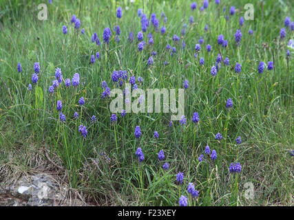 Muscari armeniacum Grape hyacinth plants in flower - Stock Photo