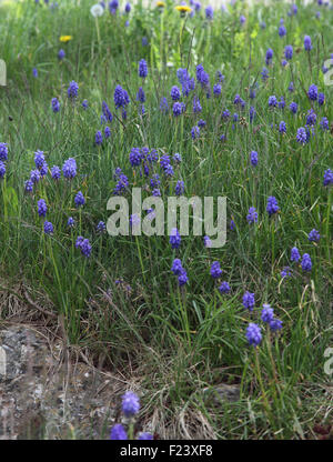 Muscari armeniacum Grape hyacinth plants in flower in lawn - Stock Photo