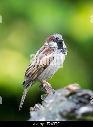Adult male House Sparrow (Passer domesticus) perching on a tree stump in the rain - Stock Photo