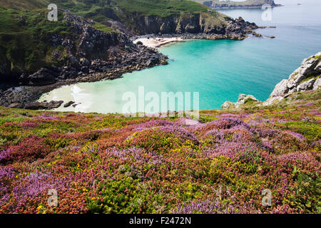 Heather and Gorse flowering on the cliff tops at Zennor in Cornwall, UK, looking down on Pendour Cove. - Stock Photo