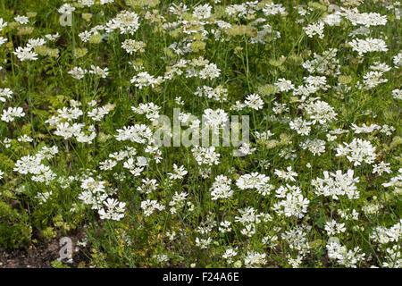 White lace flower, laceflower, Strahlen-Breitsame, Strahlenbreitsame, Strahlendolde, Orlaya grandiflora, Caucalis - Stock Photo
