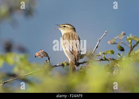 Sedge warbler (Acrocephalus schoenobaenus) singing on top of vegetation - Stock Photo
