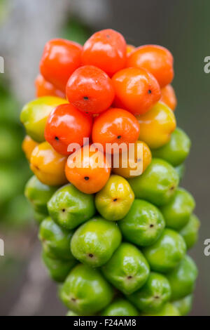 Arum Maculatum berries in autumn - Stock Photo