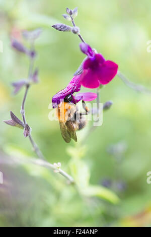 Bombus pascuorum. Common Carder Bumble bee feeding on a salvia flower whilst have pollen deposited on its back. - Stock Photo