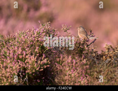 Male Dartford Warbler (Sylvia undata) blending into it's background of flowering late Summer heather perfectly - Stock Photo