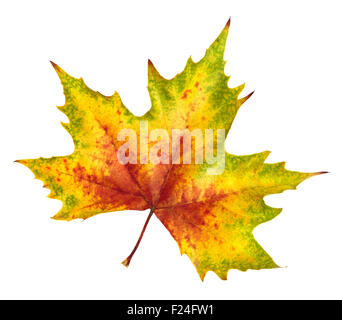 Nice colorful maple leaf in red, yellow and green, symbol for autumn, isolated on white background, rich in color and detail Stock Photo