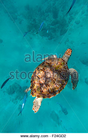 Looking down on a hawksbill sea turtle as it swims in the Caribbean Sea off the coast of Barbados. - Stock Photo