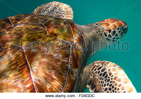 Close up of the shell and head of a hawksbill sea turtle in the Caribbean Sea, Barbados. - Stock Photo