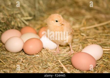 Buff Orpington chick standing beside eggs of various colors, at a farm near Fall City, Washington, USA - Stock Photo