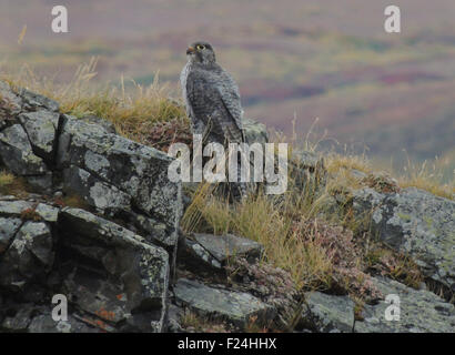 Gyrfalcon (Falco rusticolus) gray phase perched on a rocky out-cropping above the tundra valley of Denali National - Stock Photo