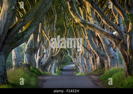 18th Century Beech Tree lined road known as the Dark Hedges near Stanocum, County Antrim, Northern Ireland, UK - Stock Photo