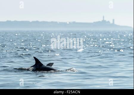 France, Finistere, Le Conquet, Common bottlenose dolphin (Tursiops truncatus) in Iroise sea - Stock Photo