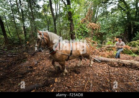 France, Finistere, Plougastel Daoulas, hauling by horse on the natural site of Kererault - Stock Photo