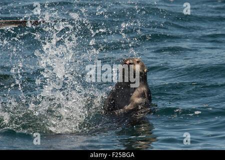 Southern sea otter, Enhydra lutris nereis, splashing, also known as California Sea Otter, Monterey, California, - Stock Photo