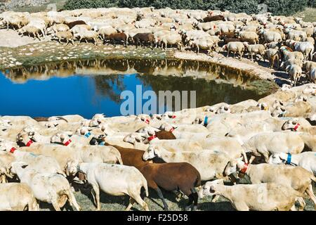 France, Aveyron, Parc Naturel Regional des Grands Causses (Natural regional park of Grands Causses), sheep drinking - Stock Photo