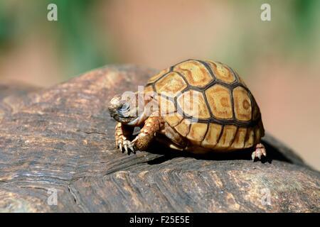 Kenya, Masai Mara Reserve, reptile, leopard tortoise (ssp Stigmochelys pardalis), young aged two months - Stock Photo