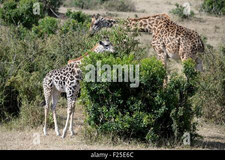 Kenya, Masai Mara Reserve, Masai Giraffe (Giraffa camelopardalis), young adult and eating the upper branches of - Stock Photo