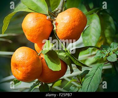 Group of orange ripe tangerines still on plant - Stock Photo